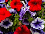 <p>These popular annuals are sure to be a delight to your nearby butterfly community. Thriving in USDA Hardiness Zones 2-11, you can expect these beauties to bloom from May to September.</p>