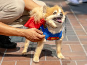 <p>Cosplayer dog dressed as Superman at Comic-Con International on July 19, 2018, in San Diego. (Photo: Christy Radecic/Invision/AP) </p>