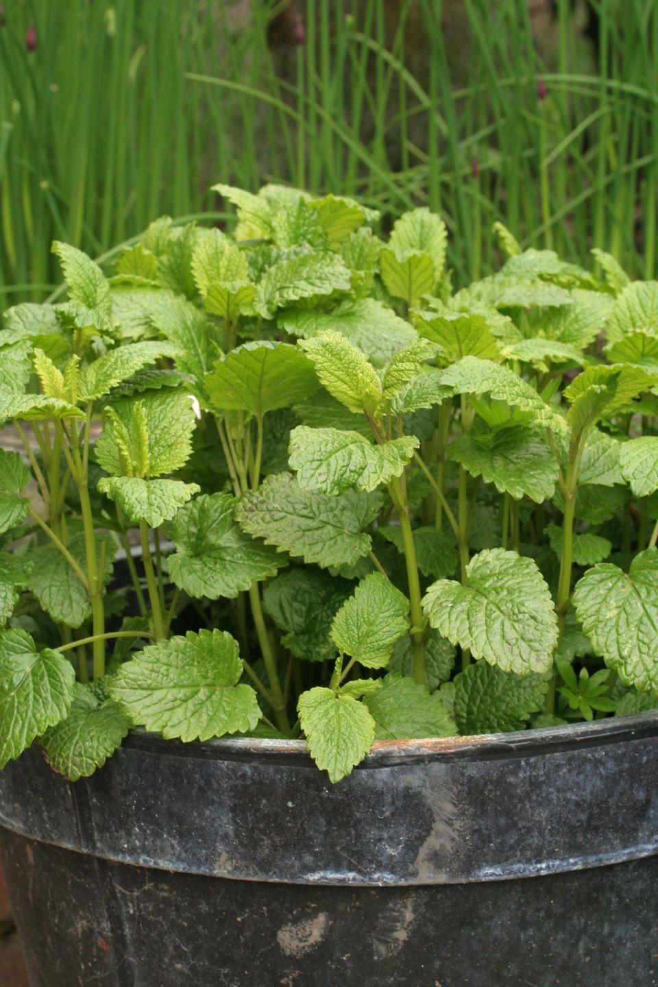 """<p>The lemon-scented mint-like leaves of this perennial herb make it a nice addition to your garden. Remove the flowers so they don't go to seed, or you may find that this plant will take over your entire garden. It's mostly used for brewing a cup of delicious tea.</p><p><a class=""""link rapid-noclick-resp"""" href=""""https://go.redirectingat.com?id=74968X1596630&url=https%3A%2F%2Fwww.edenbrothers.com%2Fstore%2Flemon_balm_seeds.html&sref=https%3A%2F%2Fwww.thepioneerwoman.com%2Fhome-lifestyle%2Fgardening%2Fg36533467%2Fbest-perennial-herbs%2F"""" rel=""""nofollow noopener"""" target=""""_blank"""" data-ylk=""""slk:SHOP NOW"""">SHOP NOW</a></p>"""