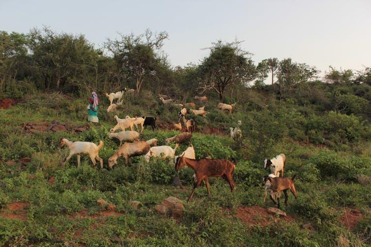 """<span class=""""caption"""">A woman leads goats to grazing and water in the Moyar Bhavani Basin, India.</span> <span class=""""attribution""""><span class=""""source"""">Prathigna Poonacha</span>, <span class=""""license"""">Author provided</span></span>"""
