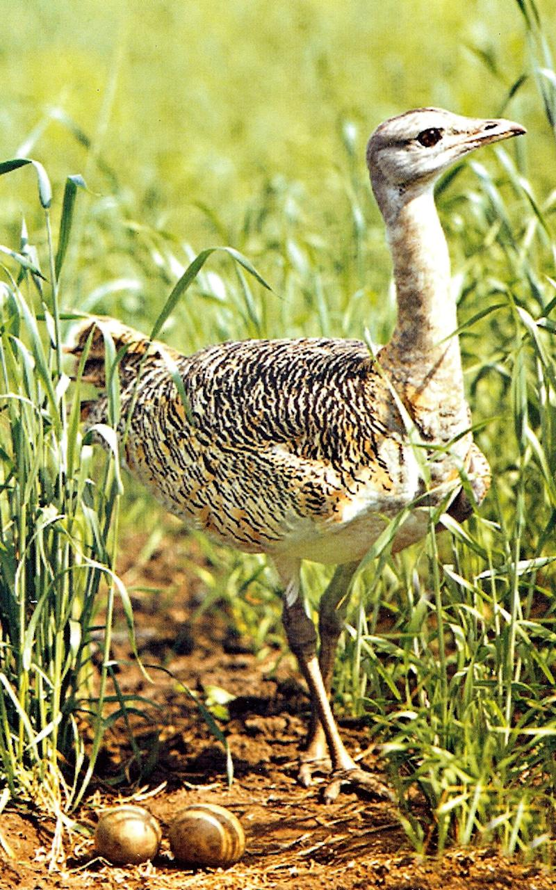 Adult male bustards can be identified by their bulging neck - Credit: AFP/Getty Images