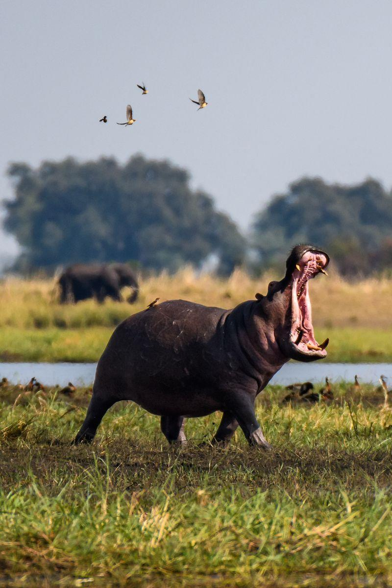<p>While hippos spend up to 16 hours a day submerged in water, they also take to the land (and have been known to be super aggressive). And for their size, they're super speedy. Don't try to outrun a hippo, because you'll lose. They grow between 2,000 and 4,000 pounds, and can run between 15 and 30 miles per hour.</p>
