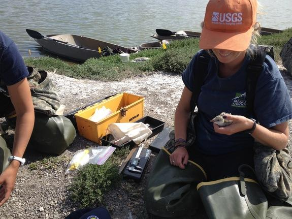 USGS biologist Kim Sawyer checks a black skimmer chick.