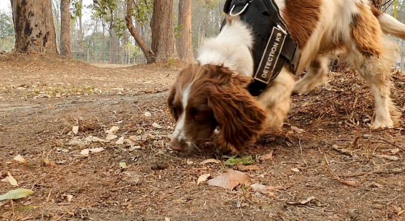 Taylor, a koala detection dog, sniffs fresh koala scat during a demonstration that shows how the dog spots the marsupial, at Port Macquarie, New South Wales, Australia
