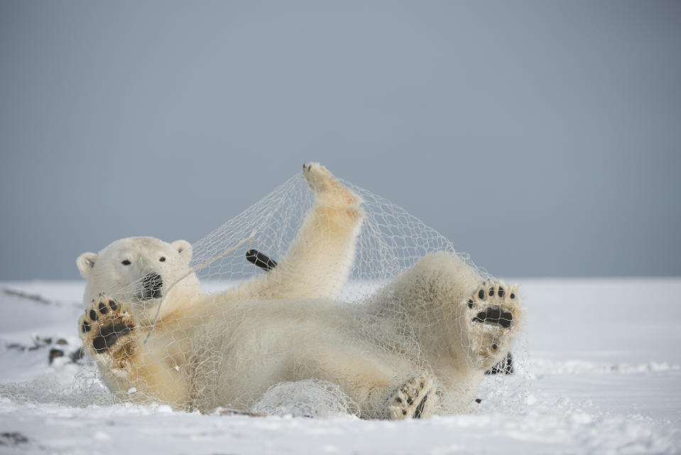 This polar bear is having fun with a fishing net, but this also indicates how much humans have damaged nature (Steven Kazlowski/Barcroft Media/Barcroft Media via Getty Images)