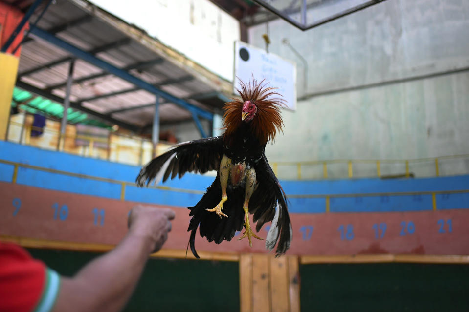 "Angel Salamanca trains a rooster at the ""Club Gallistico Caracas"" cockfighting club in Caracas, Venezuela, Sunday, Nov. 15, 2020. Cockfighting arenas and clubs have shut down since the start of the new coronavirus pandemic months ago, but owners have to keep incurring in the expense of upkeeping and training their birds in the hope that the fights might one day reopen. (AP Photo/Matias Delacroix)"