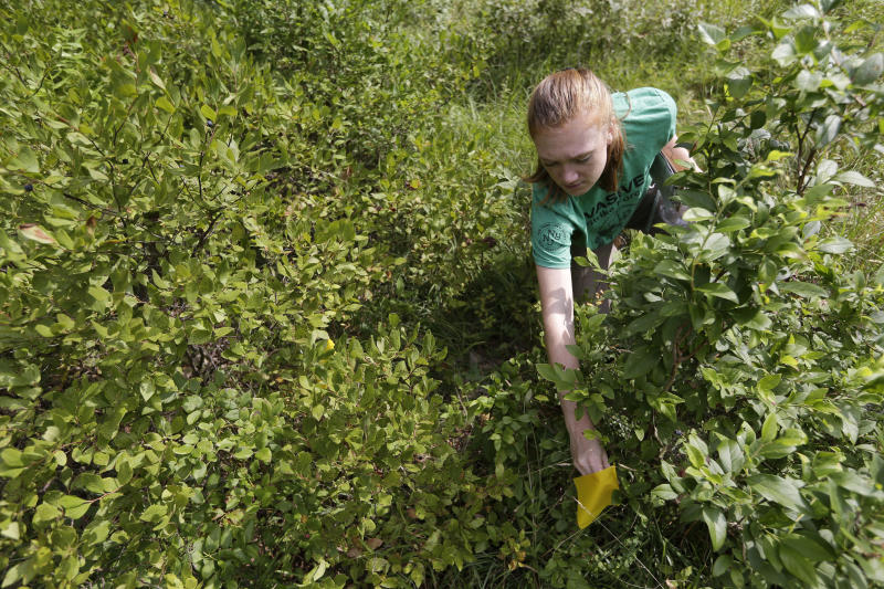 Arden Blumenthal, a NY-NJ Trails conference intern, marks a Scotch broom plant, an invasive species, found by Dia, a plant sniffing dog, in Harriman State Park in Tuxedo, N.Y., Tuesday, Aug. 6, 2019. The nonprofit New York-New Jersey Trail Conference has trained Dia to find Scotch broom plants in two state parks 50 miles (80 kilometers) north of New York City. The invasive shrub is widespread in the Pacific Northwest but new to New York, and land managers hope to eradicate it before it gets established.  (AP Photo/Seth Wenig)