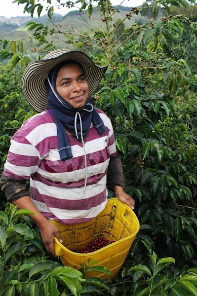 In this publicity image taken October 8, 2012 provided by Green Mountain Coffee Roasters, Inc., a coffee picker collects Geisha cherries in Trujillo, Columbia. It takes months of training for a coffee picker to be qualified to pick Geisha cherries. The pickers are paid a set wage, instead of by weight, to ensure only perfectly ripe cherries are collected. (AP Photo/ Green Mountain Coffee Roasters, Inc.)