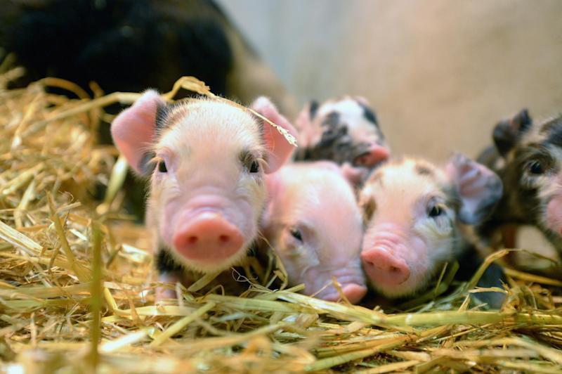The piglets (not pictured) were rescued by the firefighters: Getty