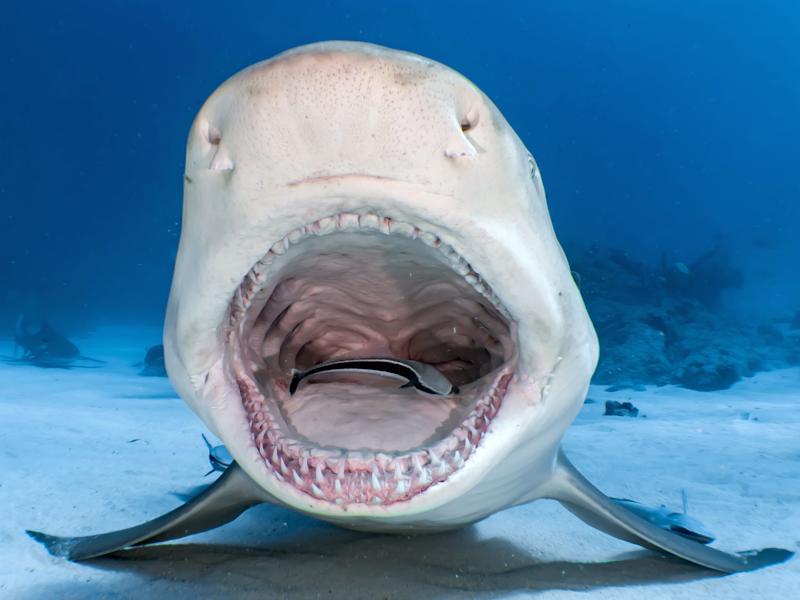 A lemon shark enables the small remora fish to clean its teeth at Tiger Beach in the Bahamas. (Photo: Shawn Murphy/Caters News)