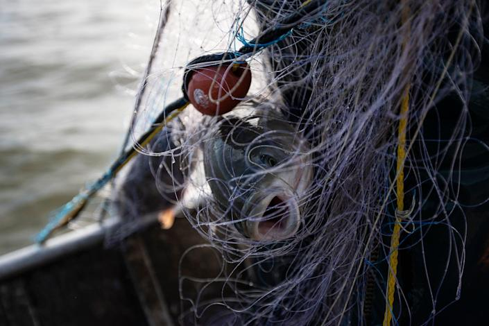 Clint Carter (not in the photo) pulls up a fishing net that caught carps on the Illinois River in Chillicothe, Ill., Wednesday, Feb. 3, 2021.