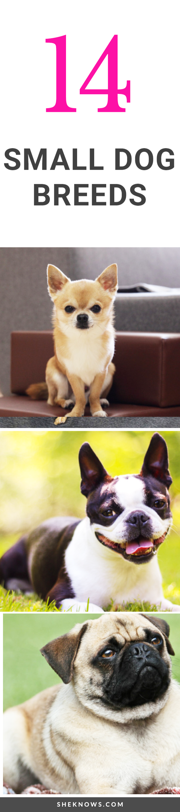 Pin it! 14 Small Dog Breeds