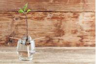 """<p>For an easy lesson in Earth Science, your family can grow an avocado tree from a pit. You can buy an <a href=""""https://www.goodhousekeeping.com/home/gardening/a26446011/avoseedo-bowl-avocado-tree-grow-kit/"""" rel=""""nofollow noopener"""" target=""""_blank"""" data-ylk=""""slk:AvoSeedo kit"""" class=""""link rapid-noclick-resp"""">AvoSeedo kit</a>, or just peel the seed and suspend it over water with toothpicks. </p><p><em><a href=""""https://www.goodhousekeeping.com/home/gardening/a26064095/how-to-grow-avocado-tree/"""" rel=""""nofollow noopener"""" target=""""_blank"""" data-ylk=""""slk:Get the tutorial »"""" class=""""link rapid-noclick-resp"""">Get the tutorial »</a></em></p>"""