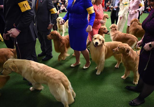 <p>Golden retrievers in the judging area during Day Two of competition at the Westminster Kennel Club 142nd Annual Dog Show in New York on Feb. 13, 2018. (Photo: Timothy A. Clary/AFP/Getty Images) </p>