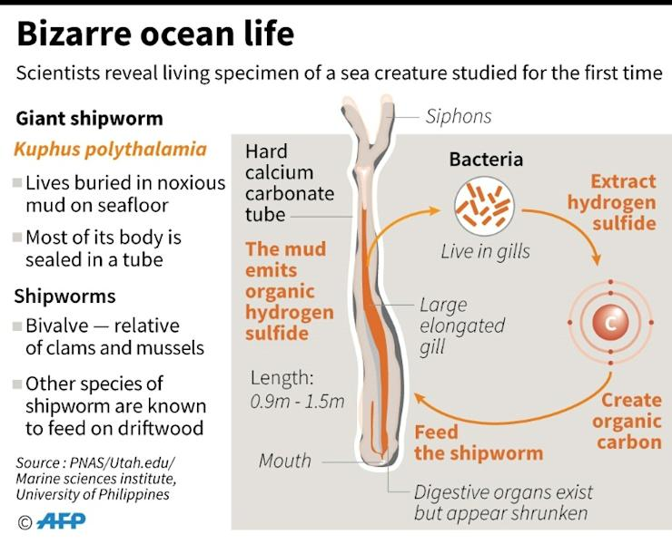 The giant shipworm appears to survive on the waste products of the sulphur-eating bacteria that live in its gills