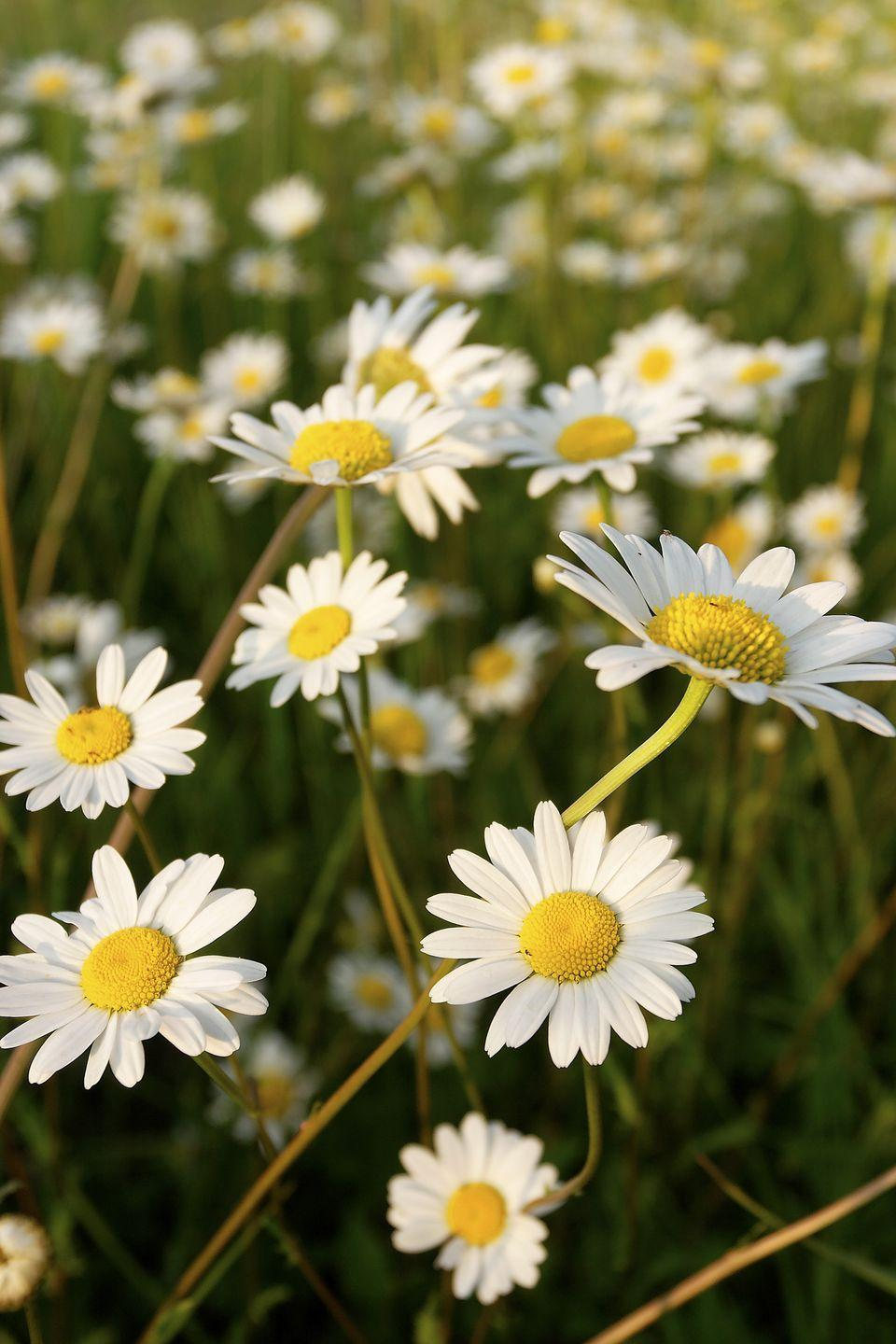 <p>Daisies are the first level of Girl Scouts so it's only fitting that they represent innocence. And with their cheery, sunny little faces, the symbolism definitely makes sense. </p>