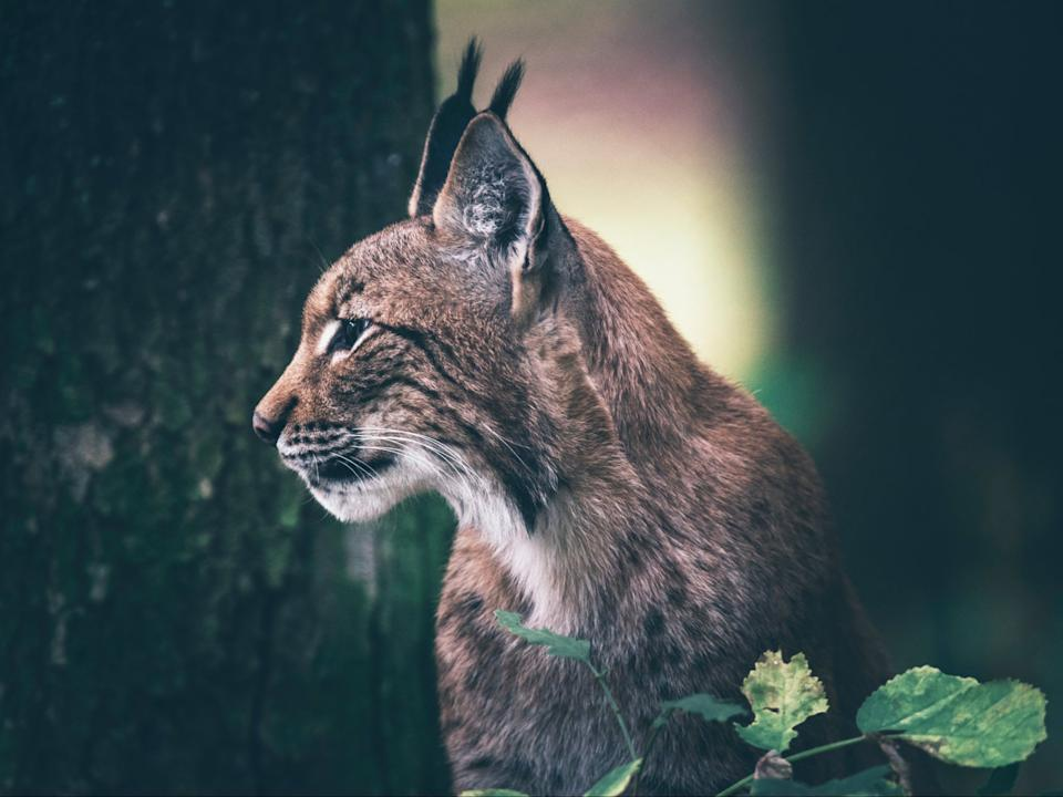 Populations of the Eurasian lynx have successfully been reestablished across Europe (Getty)