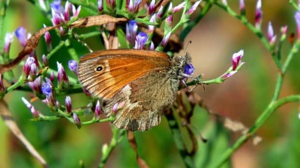 The Maritime ringlet lives in just 10 salt marshes that ring the Bay of Chaleur, and nowhere else in the world. Endangered since 2003, it is estimated that there are no more than 55,000 to 65,000 adults that hatch out each summer, a very small number in the insect world.  (Janet Doucet/Daly Point Nature Reserve - image credit)