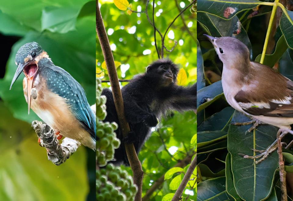 Common kingfisher, Raffles' banded langur, and Daurian starling. (Photos: Andrew Hunt, Law Jia Bao, Kenneth Cheong)