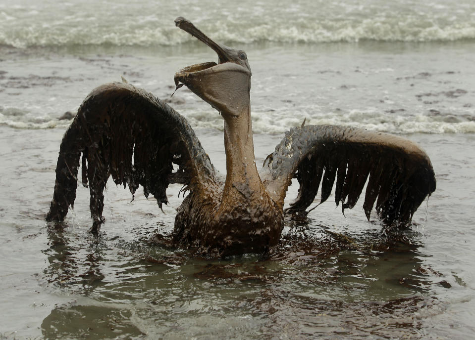 FILE - In this June 3, 2010 file photo, a brown pelican covered in oil from the Deepwater Horizon oil spill sits on the beach at East Grand Terre Island along the Louisiana coast. Ten years after the nation's biggest offshore oil spill fouled its waters, the Gulf of Mexico sparkles in the sunlight and its fish are safe to eat. But scientists who have spent $500 million dollars from BP researching the impact of the Deepwater Horizon disaster have found much to be concerned about. (AP Photo/Charlie Riedel, File)