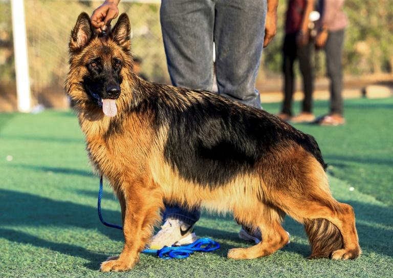 The official word from the World Health Organization is that pets likely do not often transmit COVID-19 to their owners (AFP Photo/ASHRAF SHAZLY)