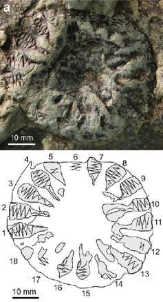 Photograph and diagram of the found fossil