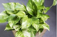 "<p>Pothos plants are able to absorb water easily, which makes them ideal for a bathroom. These lush green trailing plants, also known as the Devil's Ivy, thrives best in direct light and look great placed on a shelf. They look great as hanging houseplants. </p><p><a class=""link rapid-noclick-resp"" href=""https://go.redirectingat.com?id=127X1599956&url=https%3A%2F%2Fwww.crocus.co.uk%2Fplants%2F_%2Fepipremnum-pinnatum-golden-pothos%2Fclassid.2000034398%2F&sref=https%3A%2F%2Fwww.countryliving.com%2Fuk%2Fhomes-interiors%2Finteriors%2Fg33454786%2Fbathroom-plants%2F"" rel=""nofollow noopener"" target=""_blank"" data-ylk=""slk:BUY NOW"">BUY NOW</a></p>"