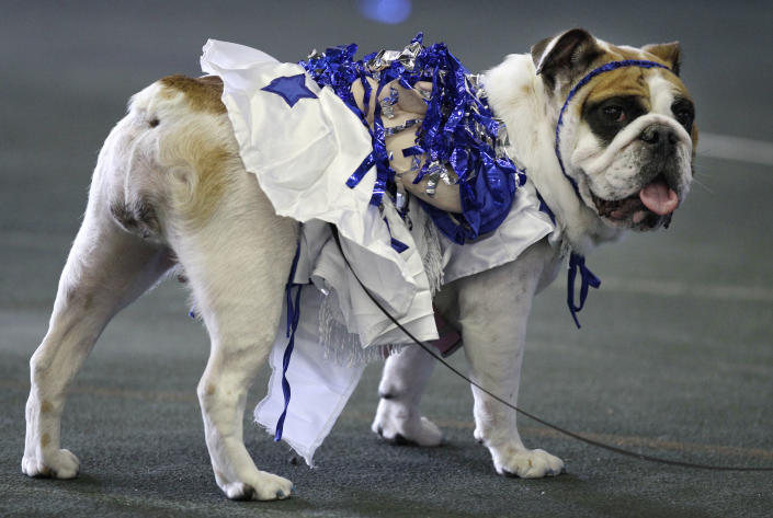 Matilda Rose, owned by Bennie Ward, of Independence, Iowa, looks on during the 33rd annual Drake Relays Beautiful Bulldog Contest Monday, April 23, 2012, in Des Moines, Iowa. The pageant kicks off the Drake Relays festivities at Drake University where a bulldog is the mascot. (AP Photo/Charlie Neibergall)