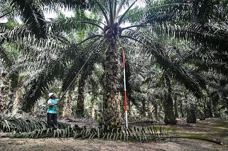 Both Malaysia and Indonesia have been at loggerheads with EU lawmakers over the crop's cultivation, which has caused rampant deforestation and destruction of wildlife (AFP Photo/Mohd RASFAN)