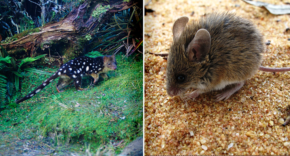 Left - a spot-tailed quoll in a forest. Right - Close-up of a Pilliga mouse on sand