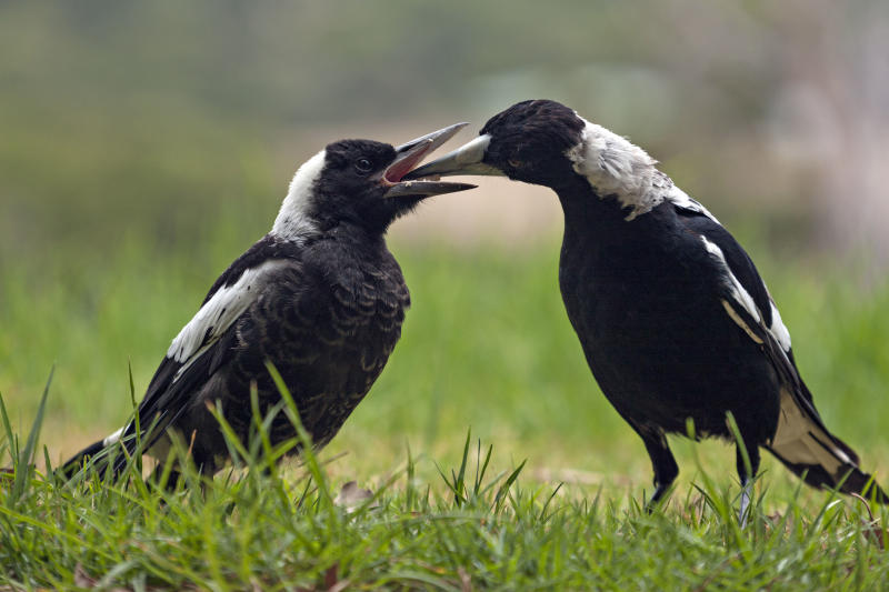 A mother magpie feeds its child on a lawn.