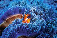 """<p>A camera-shy clownfish hides in blue sea anemone, where it <a href=""""https://www.nationalgeographic.com/animals/fish/group/clownfish/"""" rel=""""nofollow noopener"""" target=""""_blank"""" data-ylk=""""slk:typically hides"""" class=""""link rapid-noclick-resp"""">typically hides</a> from predators.</p>"""