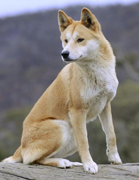 The classification of the dingo has provided contentious debate among the scientific community