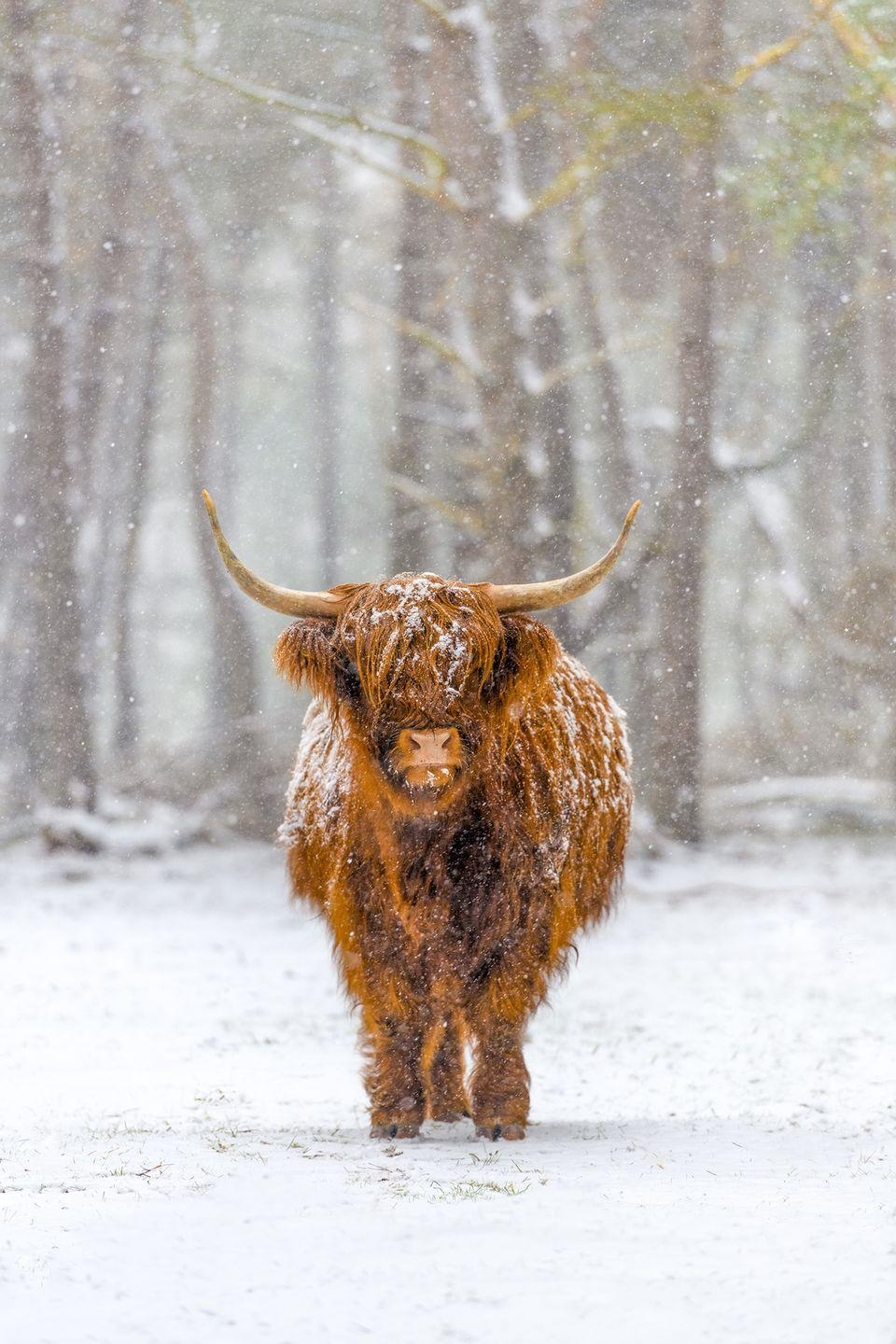 <p>An iconic image of Scotland, this snow-dusted Highland cow looks warm and protected. </p>