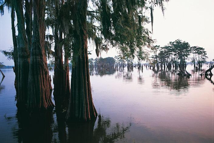 <p>Cypress trees grow in the middle of the Atchafalaya River basin in Louisiana. </p>