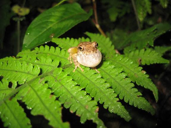 The Mientien tree frog is endemic to Taiwan.
