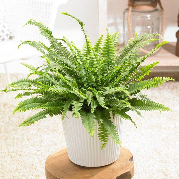 "<p>The striking Boston Fern, famed for its air-purifying qualities, is one of the most popular houseplants around. Pet owners will be pleased to know that its foliage isn't toxic to dogs and cats, so you can still enjoy it in your home without worrying. </p><p><a class=""link rapid-noclick-resp"" href=""https://go.redirectingat.com?id=127X1599956&url=https%3A%2F%2Fwww.primrose.co.uk%2F-p-132696.html&sref=https%3A%2F%2Fwww.housebeautiful.com%2Fuk%2Fgarden%2Fplants%2Fg35160955%2Fdog-friendly-plants%2F"" rel=""nofollow noopener"" target=""_blank"" data-ylk=""slk:BUY NOW VIA PRIMROSE"">BUY NOW VIA PRIMROSE</a> </p>"