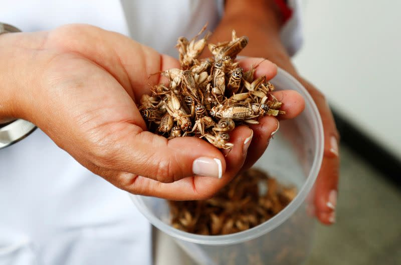 Dr. Daylan Tzompa Sosa holds a handful of crickets at Ghent University