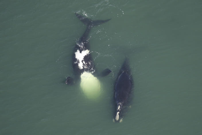 In this Feb. 20, 2010 photo provided by the Florida Fish and Wildlife Conservation Commission, a female North Atlantic right whale Catalog #3911, right, swims with another whale. By February 2011, she was dead. A study published by the journal Current Biology on Thursday, June 3, 2021, says the hulking giants of the deep, the North Atlantic right whales, are about three feet smaller than they were just 20 years ago. (Florida Fish and Wildlife Conservation Commission, NOAA Permit #594-1759 via AP)