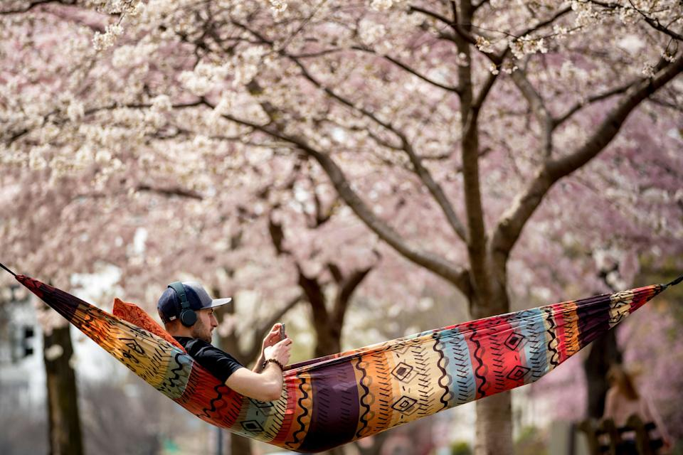 Hunter Gross lies in a hammock under cherry blossom trees in Stanton Park on Capitol Hill, Saturday, March 30, 2019, in Washington. Peak bloom is expected April 1, according to the National Park Service. (AP Photo/Andrew Harnik)