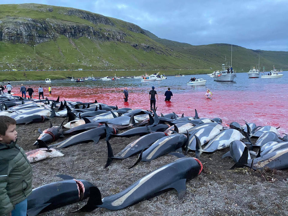 In this image released by Sea Shepherd Conservation Society the carcasses of dead white-sided dolphins lay on a beach after being pulled from the blood-stained water on the island of Eysturoy which is part of the Faeroe Islands Sunday Sept. 12, 2021. The dolphins were part of a slaughter of 1,428 white-sided dolphins that is part of a four-century-old traditional drive of sea mammals into shallow water where they are killed for their meat and blubber. The hunt in the North Atlantic islands is not commercial and is authorized, but environmental activists claim it is cruel. (Sea Shepherd via AP)