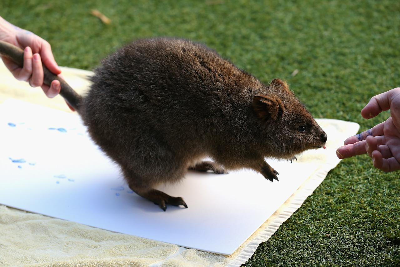 A Quokka leaves paint prints on a canvas at Taronga Zoo on June 27, 2012 in Sydney, Australia. Taronga and Western Plains Zoo today pledged a a new elephant conservation project in Thailand and animals at Taronga made their pledge by dipping their feet and hands in paint and smudging them on canvas.  (Photo by Cameron Spencer/Getty Images)