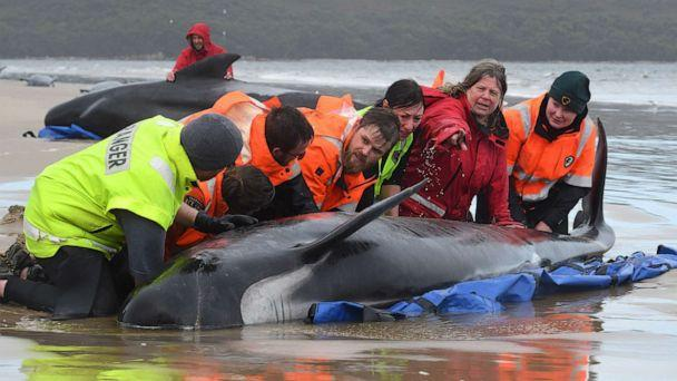 PHOTO: Rescuers work to save a pod of whales stranded on a beach in Macquarie Harbour, Sept. 22, 2020, on the west coast of Tasmania, Australia. (Brodie Weeding/The Advocate/AFP via Getty Images)