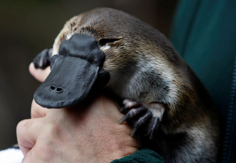 Scientists urge more protection for platypus in Australian state