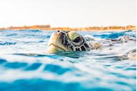 """<p>A <a href=""""https://www.aithm.jcu.edu.au/world-first-jcu-turtle-health-facility-is-making-waves/?fbclid=IwAR2rt5ZqHzjGWff8zsyIJKRg05KPYdYIquzffDUH3k66a0t8Dho_4-qrgTk#.XVx_A-KP7rQ.facebook"""" rel=""""nofollow noopener"""" target=""""_blank"""" data-ylk=""""slk:study"""" class=""""link rapid-noclick-resp"""">study</a> from the James Cook University's Turtle Health Research facility found """"Turtles have color vision. (Their favorite color – not surprisingly – is blue.) They also have good memories. Trials have shown that turtles which have mastered a trick to obtain a food reward, at a young age, will immediately remember how to achieve the same result, when the puzzle is re-introduced to them eight months later. There is also evidence that turtles have individual personalities.""""</p><p>""""I didn't think that reptiles had personalities, but they do,"""" observed Professor Ariel from the research facility. """"Some turtles are shy and will avoid a new device in the tank, whereas others are bold and will swim up to nudge or bite it. They have vastly different behavioral traits.""""</p>"""