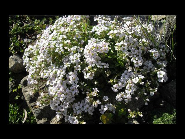 <b>Gypsophila means Festivity or Innocence </b><br>Either way, your girlfriend deserves it, as her innocence spreads a lot of festivity in your life (Err, was that too corny?). Never mind.Just pick up a bunch for her anyway!
