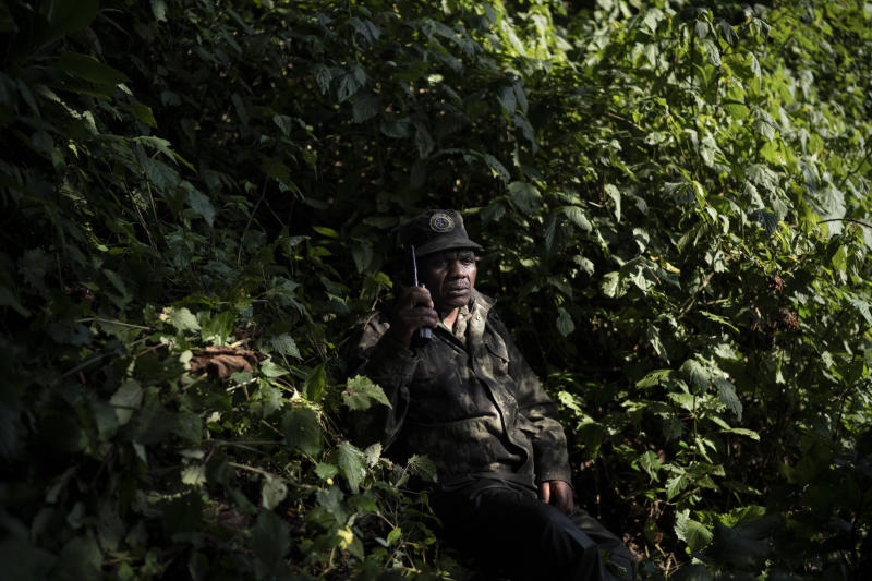 A gorilla tracker talks on the radio as he monitors gorillas from the Agasha group in Volcanoes National Park, Rwanda. Each morning, his job is to locate the whereabouts of the 24-member gorilla family, then alert the park warden. (Photo: Felipe Dana/AP)