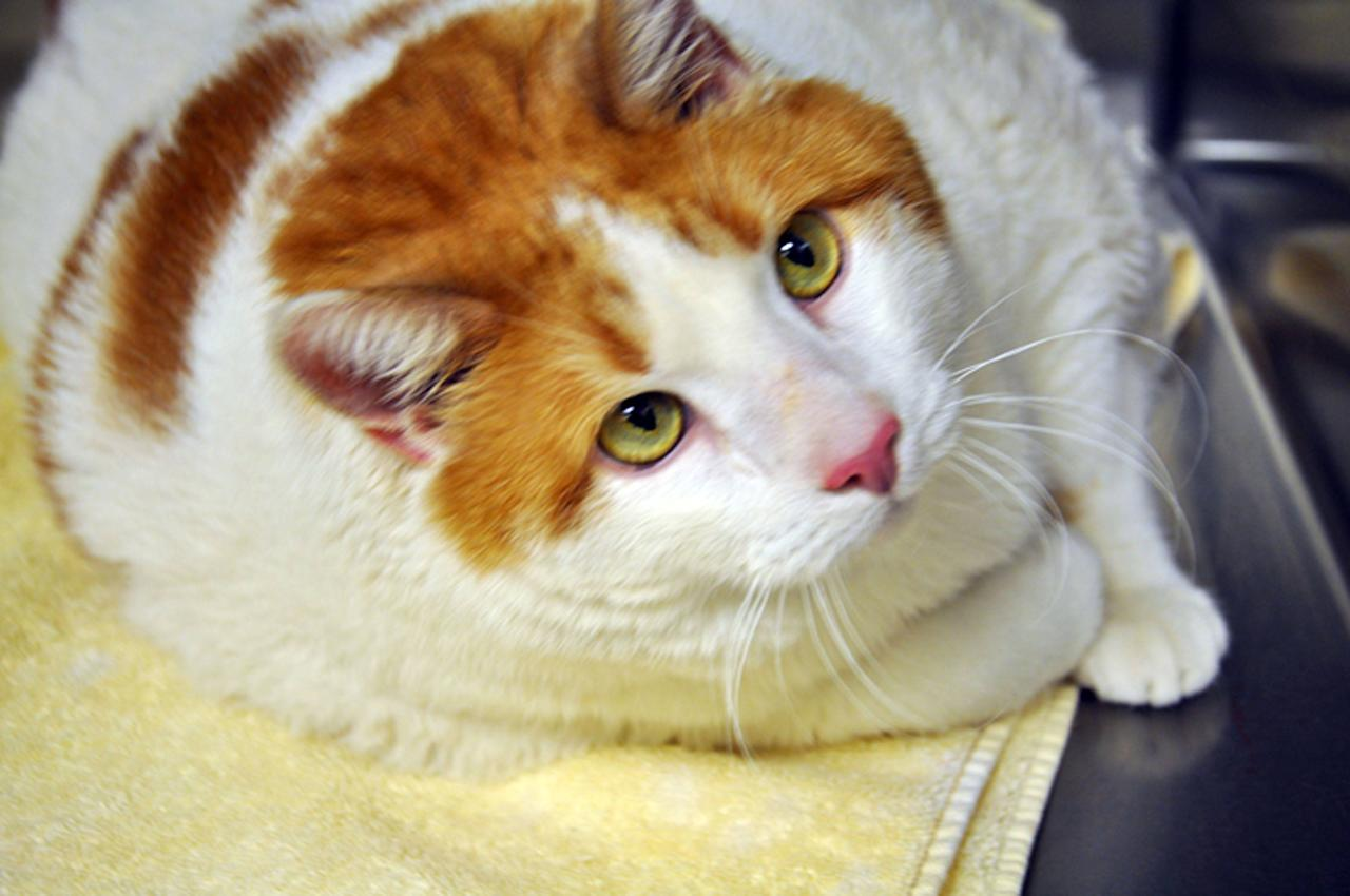 Meow the 40-pound cat!  Meet Meow, a cat fighting to lose 10 pounds so he can be found a new home. The two-year-old orange and white tabby tips the scale at almost 40 pounds, and the Santa Fe Animal Shelter is on a mission to get the feline back into shape. Meow's 87-year-old owner could no longer take care of him, so the pet was turned over to the shelter in southeastern New Mexico for help.   New Mexico - May 2012  Supplied by WENN.com