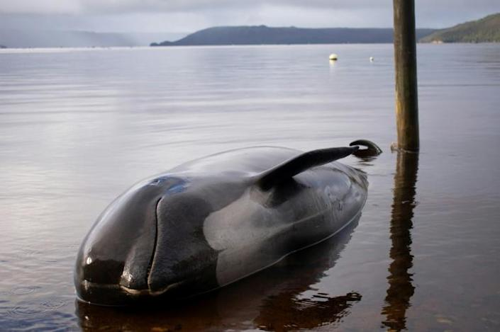 Only a few dozen of the 470 whales stranded on Australia's coast can still be saved, rescuers warned