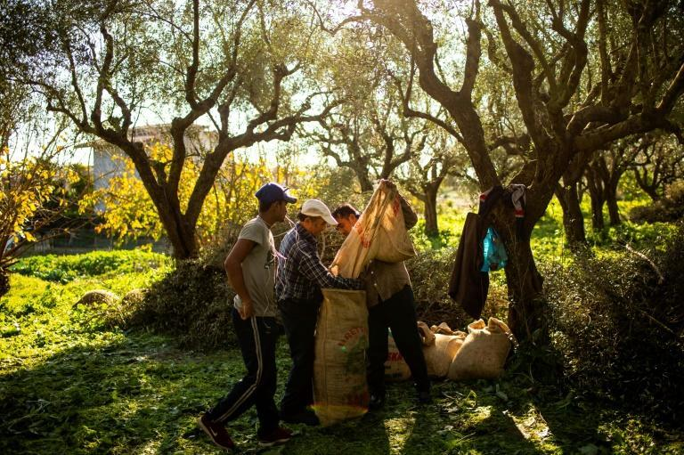 The olive harvest is set to last an extra month without seasonal workers on Nikos Argirakis' farm